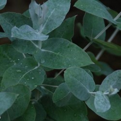 Eucalyptus globulus bio : anti-septique