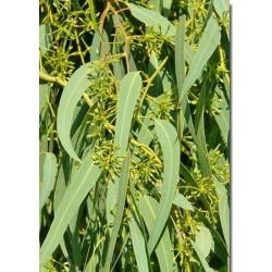 eucalyptus radiata : biorespiratoire