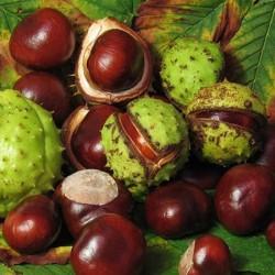 Marronnier d'inde : circulatoire et veineux