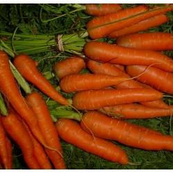HE de carotte bio hepato-protectrice et dépurative