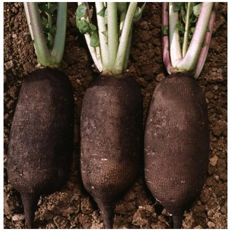 radis noir : draineur foie et vésicule biliaire