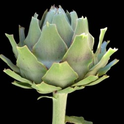 macéré d'artichaut pour le système hépatique et biliaire