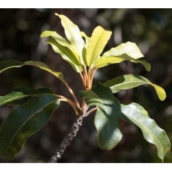 Huile Essentielle Issa bio Madagascar : circulation veineuse