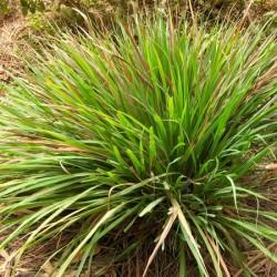 Citronnelle Bio Madagascar : calmante et anti-inflammatoire