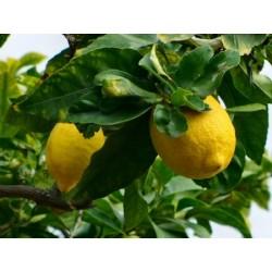 Huile Essentielle Citron bio : stimulante