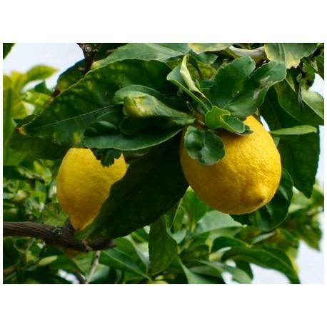 HE de citron bio stimulante et bactéricide