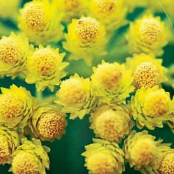 Huile Essentielle Hélichryse italienne bio sauvage (corse) : anti-hématome