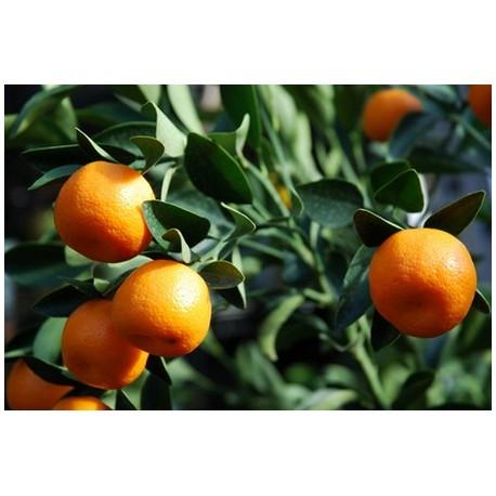 Huile Essentielle Mandarine rouge bio : relaxante et calmante
