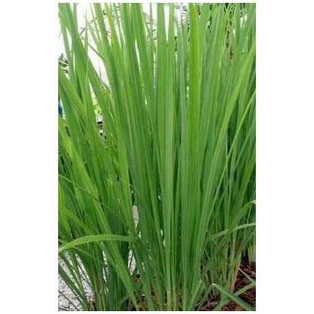 He lemongrass vasodilatatrice