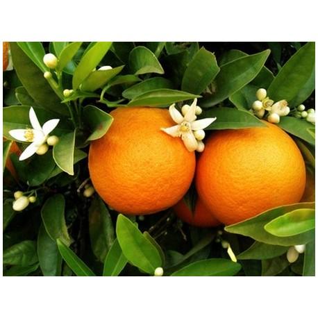 Huile Essentielle Orange douce : bio digestive