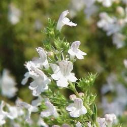 Huile Essentielle Sarriette des montagnes bio : anti-infectieuse