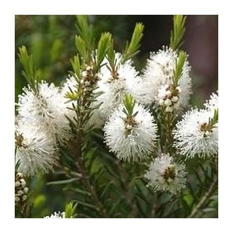 Huile Essentielle Tea tree bio : anti-infectieuse et antivirale