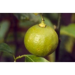 bergamote bio : purifiante et calmante