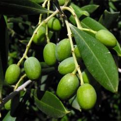 olivier macérat glycerine