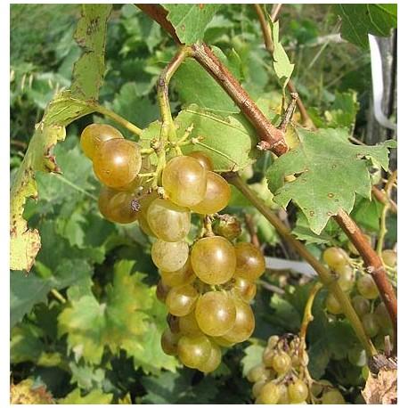 Vigne : circulatoire