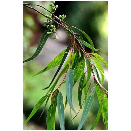 Huile Essentielle Eucalyptus citronné anti-inflammatoire
