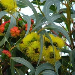 He eucalyptus smithii anti-infectieuse douce