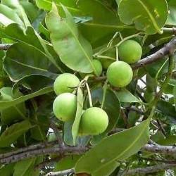 Huile végétale Calophylle bio