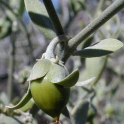 huile vegetale de jojoba bio