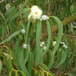 eucalyptus globulus : voies respiratoire