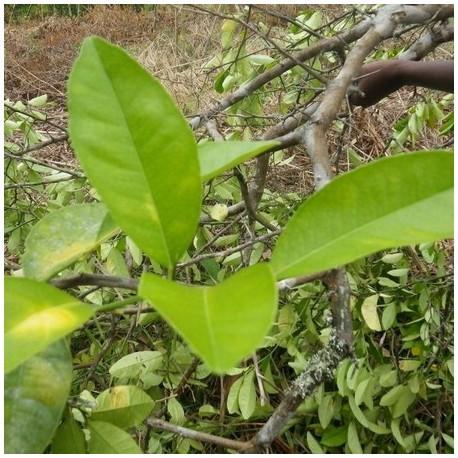 Huile Essentielle Voasary Gasy Bio Madagascar : anti-inflammatoire, relaxante