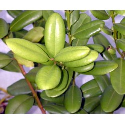 Huile Essentielle Havozo Bio Madagascar : anti-infectieux, anti-stress