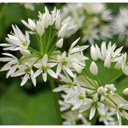 Ail des Ours - 50ml : Extrait Phyto