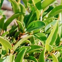 Huile Essentielle Mandravasarotra Bio- Madagascar : anti-bactérienne et neurotonique